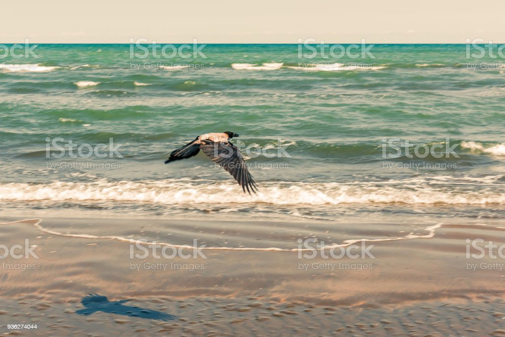 Crow in flight by the sea stock photo
