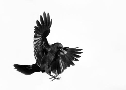 American Crow in Flight - white Background.