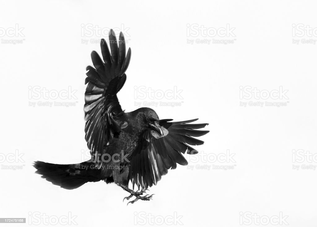 Crow in Flight - White Background stock photo