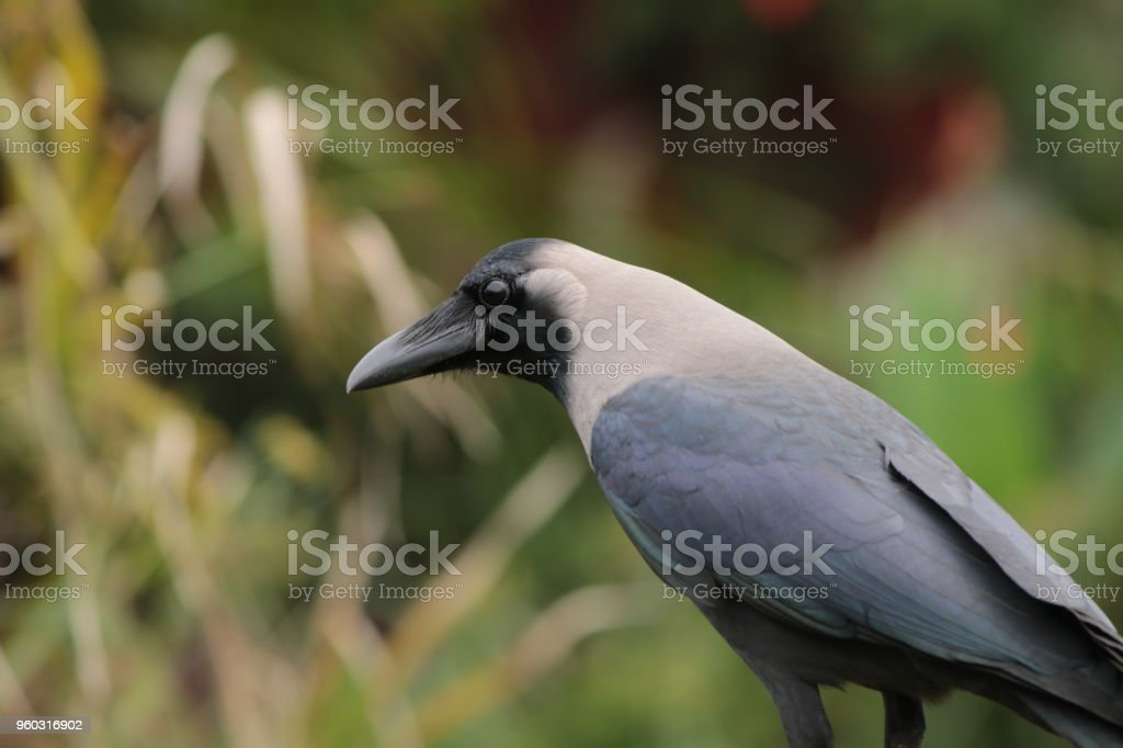 Crow in nature stock photo