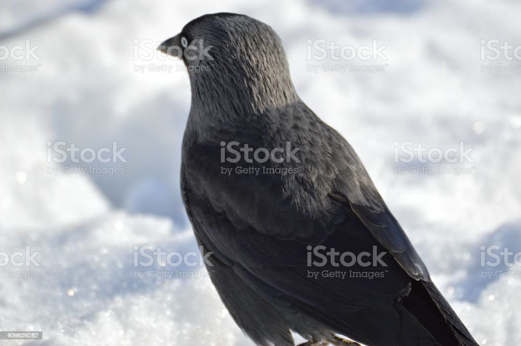 one for the blackbird one for the crow