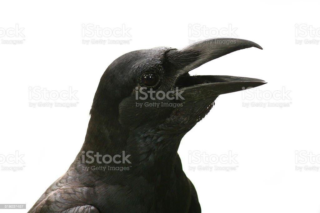 crow isolated on white background stock photo