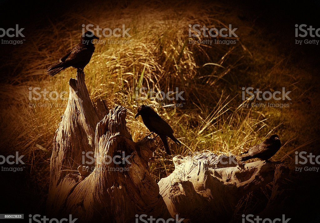 Crow meeting royalty-free stock photo
