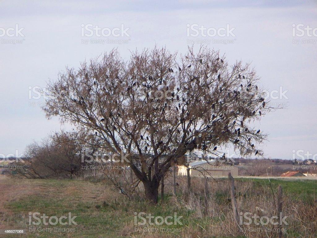 Crow Migration Part 1 stock photo