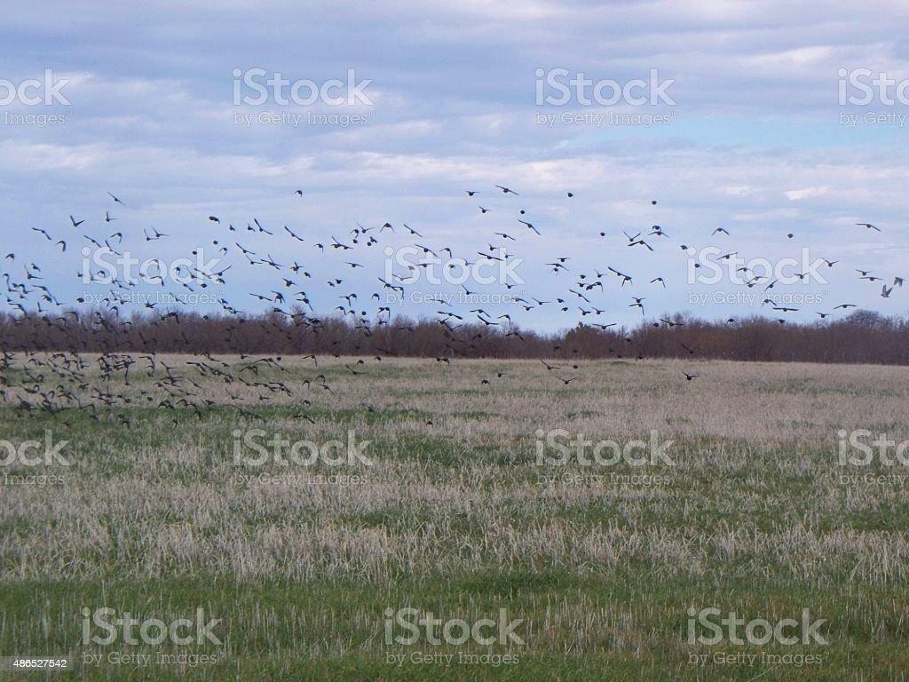 Crow Migration Part 3 stock photo