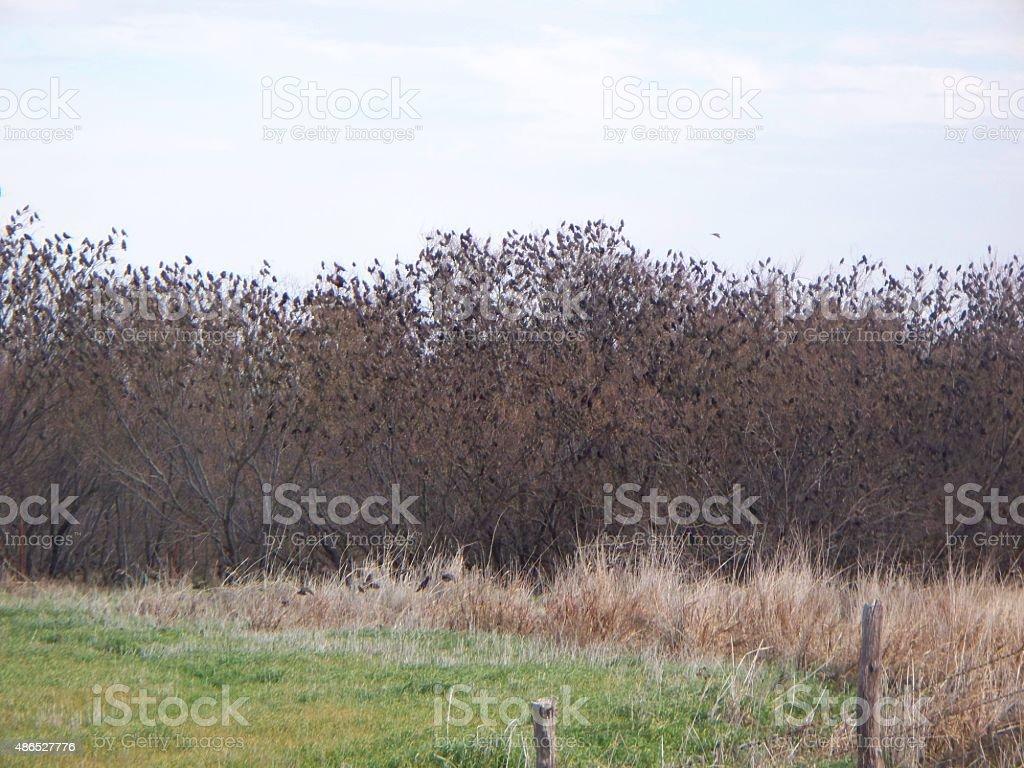 Crow Migration Part 4 stock photo