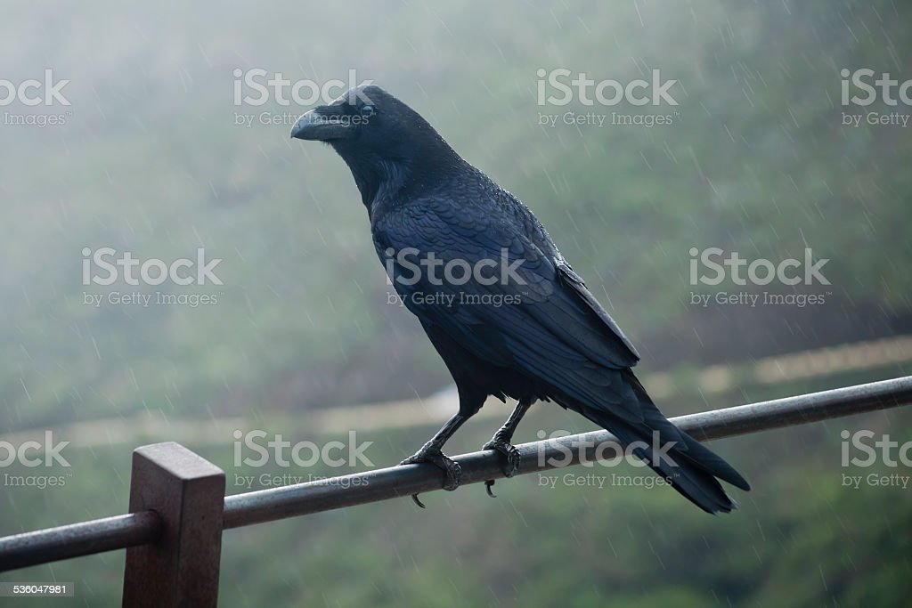 Crow on a fence. stock photo