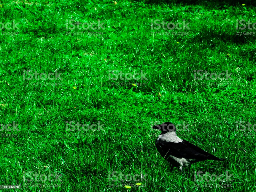 Crow on a field stock photo