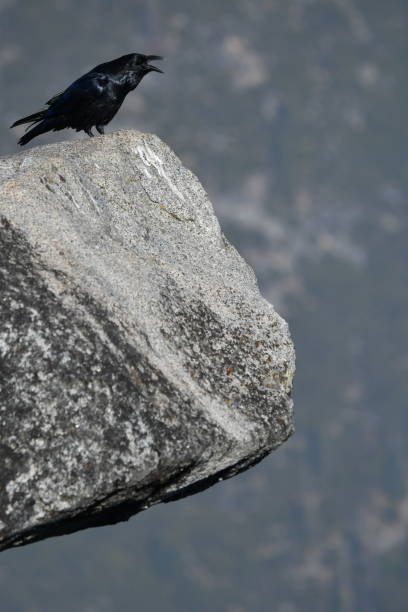 crow on a granite edge - steven harrie stock pictures, royalty-free photos & images