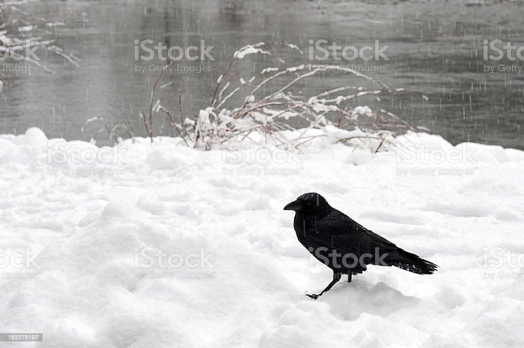 Crow on a snow stock photo