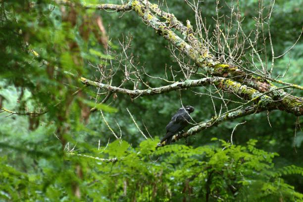 cuervo en una rama de árbol en plena vegetación - foto de stock