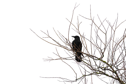 Crow on a tree isolated on white