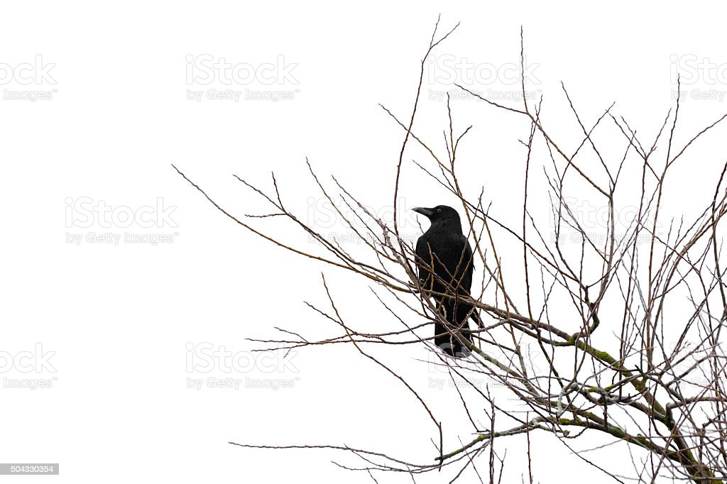 Crow on a tree isolated on white stock photo