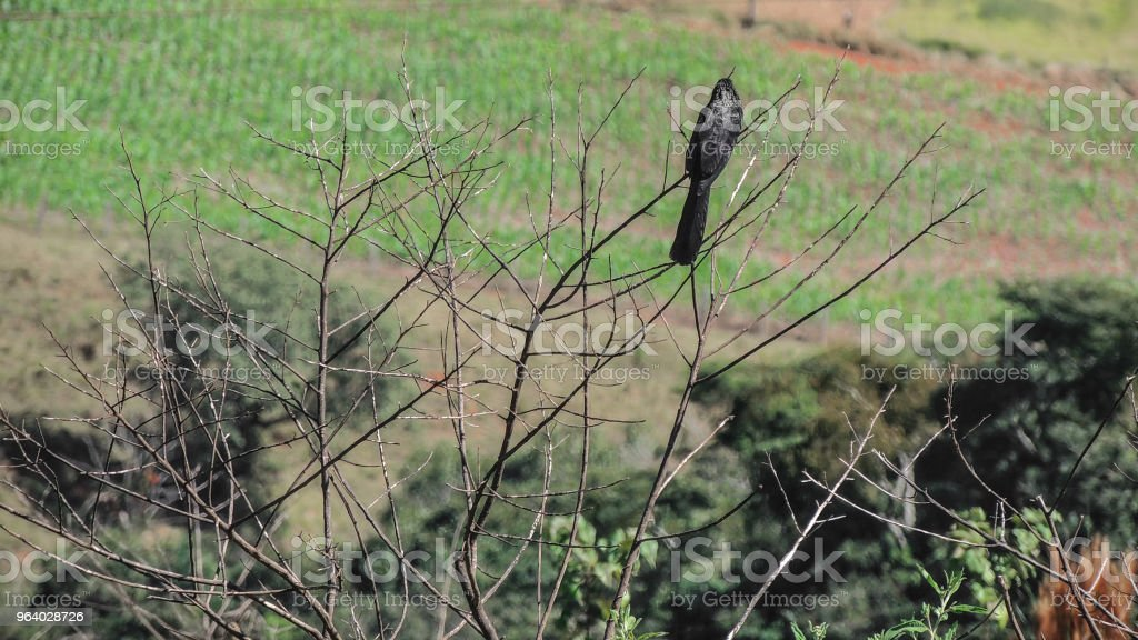 Crow on Branches - Royalty-free Animal Stock Photo