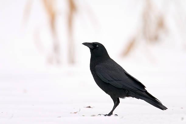 Crow on Snow stock photo