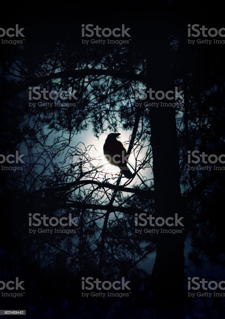 crow on tree in moon light at night