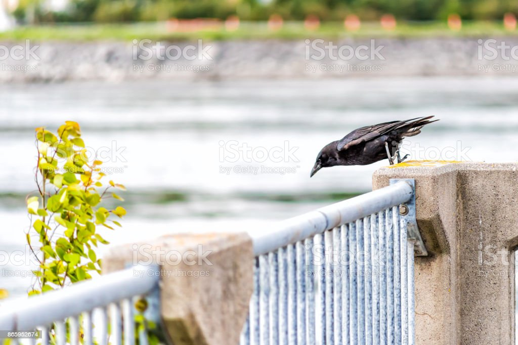 Crow perched on railing ready to take off and fly away in Saguenay, Quebec, Canada by fjord stock photo