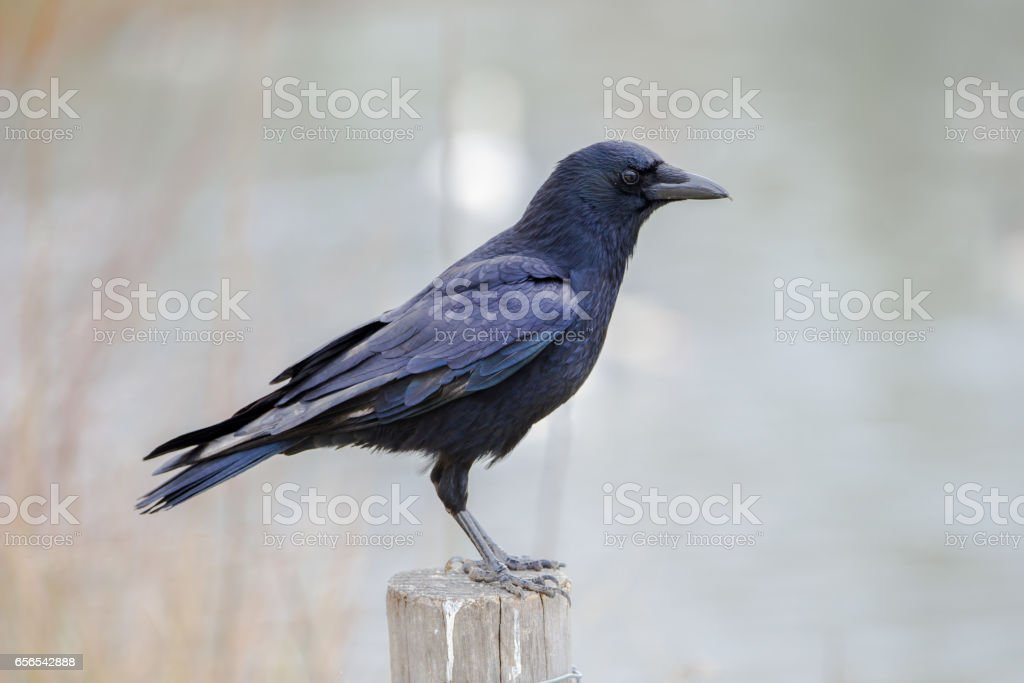 Crow perched stock photo
