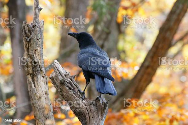 Crow picture id1066515994?b=1&k=6&m=1066515994&s=612x612&h=nwwd8usbuvhvxiga0eifyulcujfg5inviceord0rlbk=