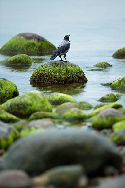 Crow - foto de stock