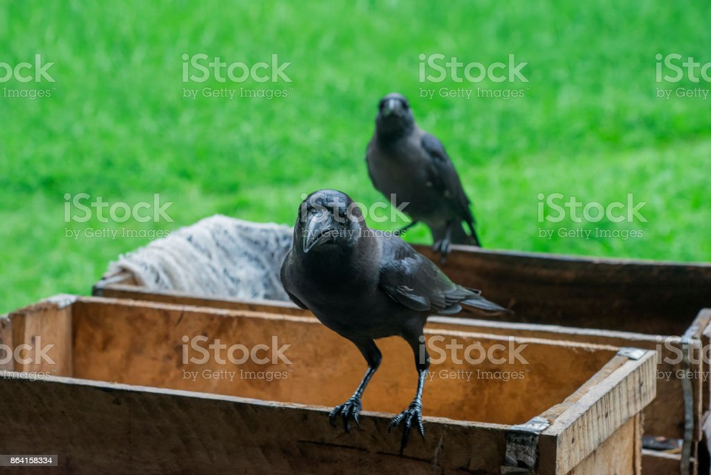 Crow royalty-free stock photo