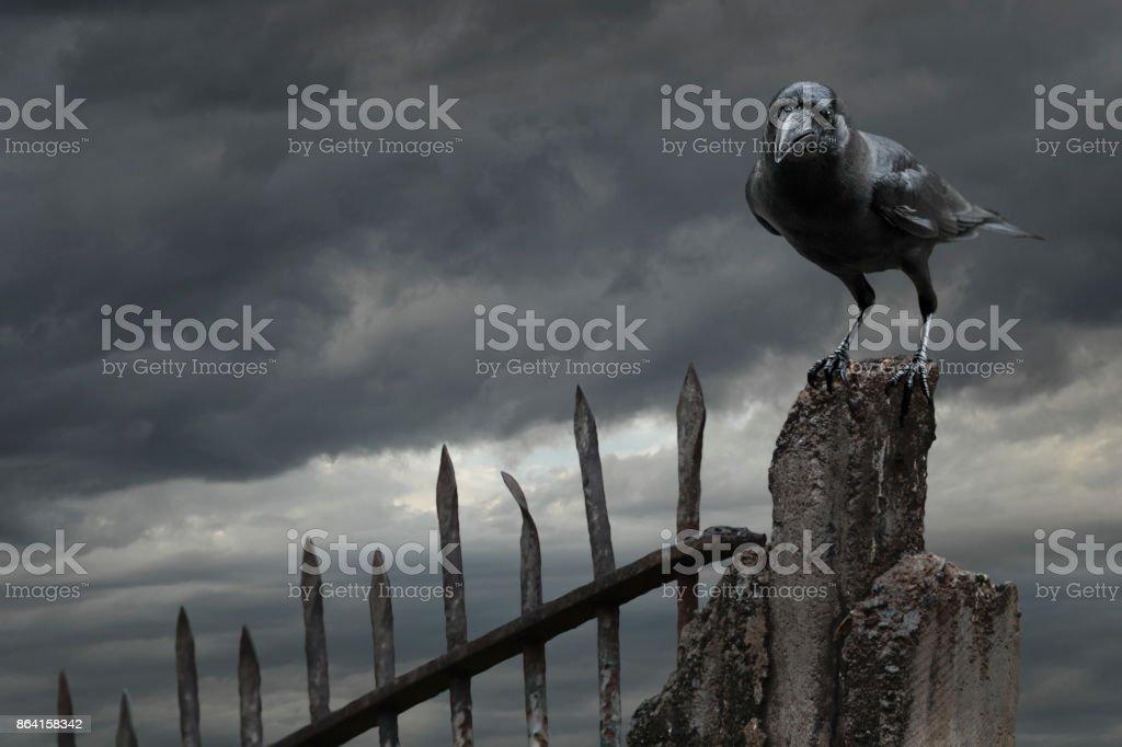 Crow royalty-free stock photo