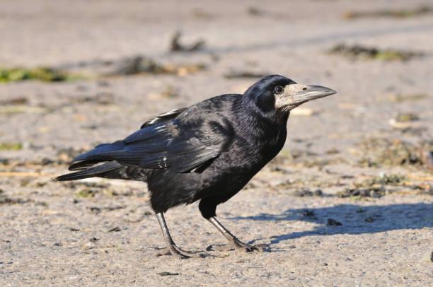 krähe (corvus frugilegus) - saatkrähe stock-fotos und bilder