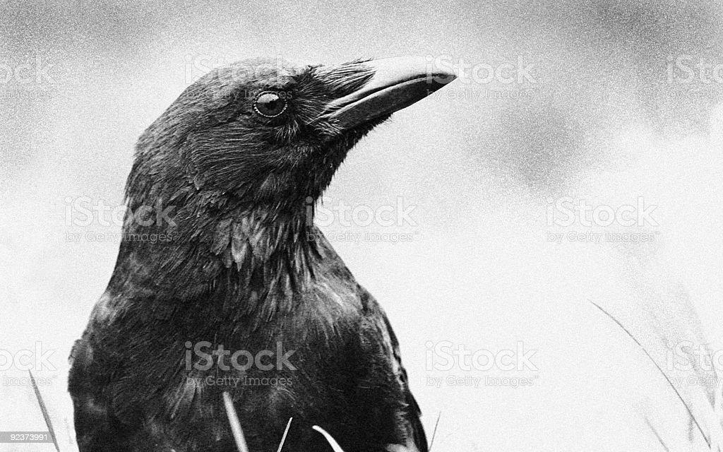 Crow (corvus corone) royalty-free stock photo
