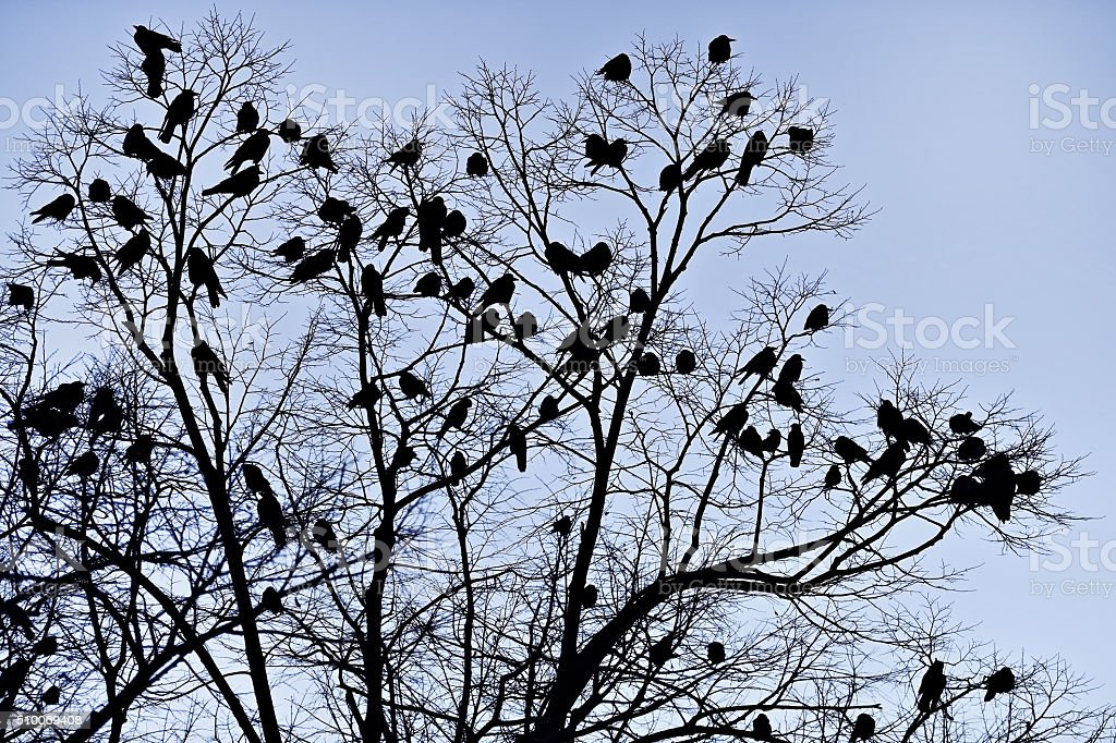 Crow silhouettes at dusk stock photo