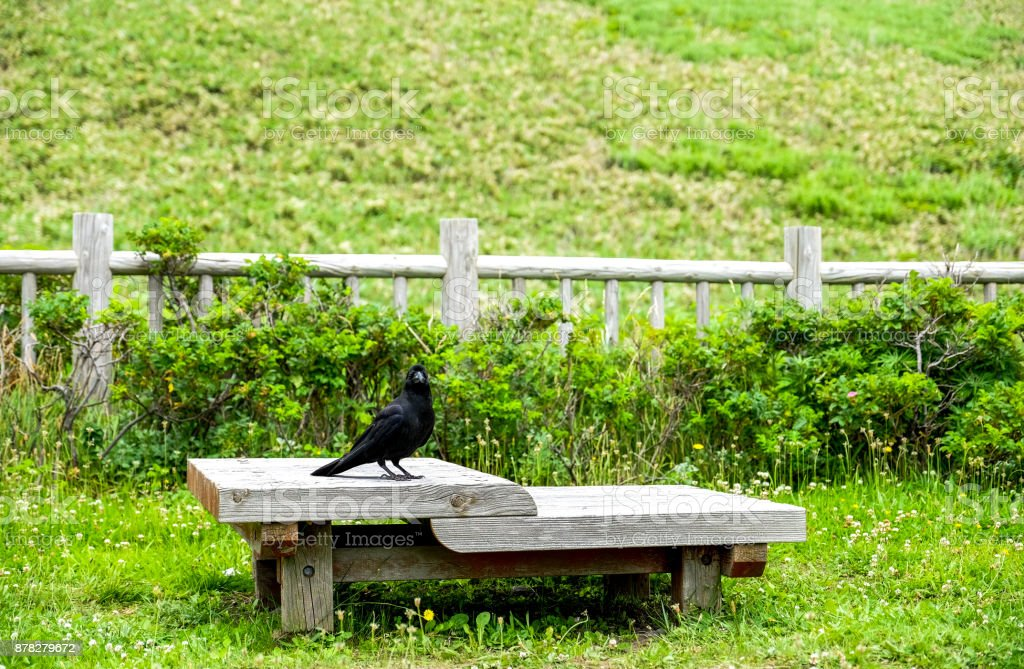 crow standing on the wood chair at garden on the background , Single Common raven bird (Corvus corax) stock photo