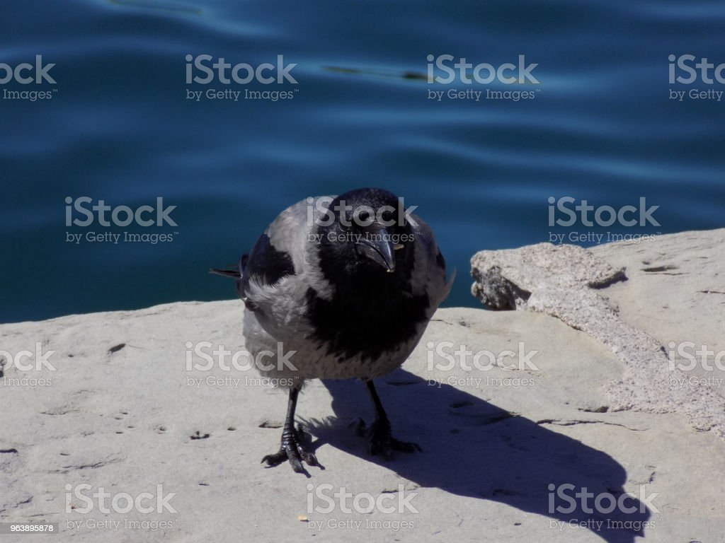 Crow stands on the dock, by the seaside - Royalty-free Animal Stock Photo