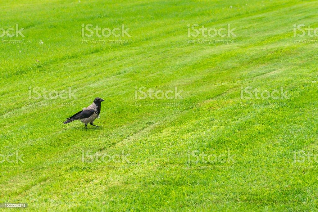 Un corbeau marche sur un champ d'herbe verte par une journée ensoleillée - Photo