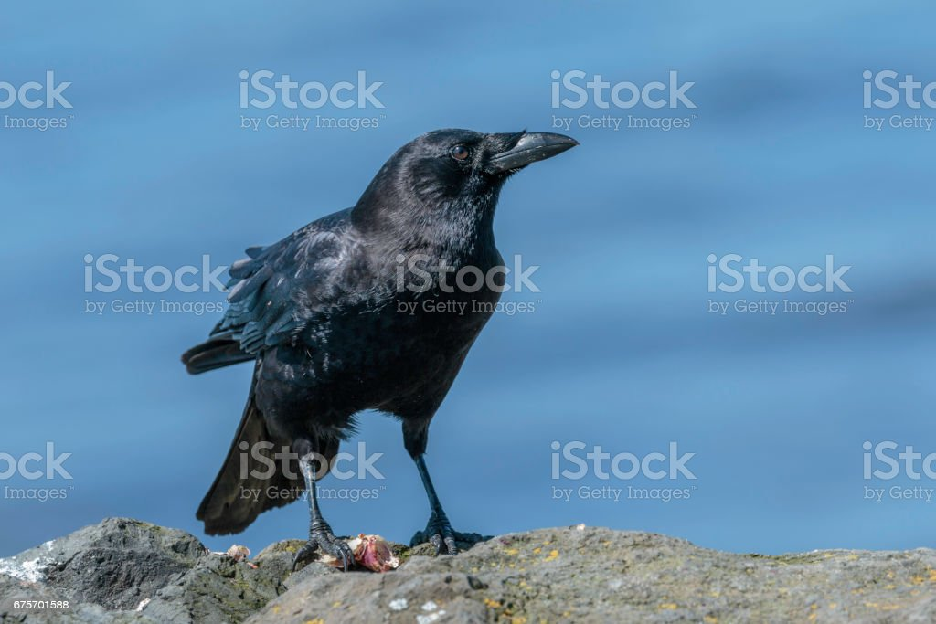 Crow with Lunch royalty-free stock photo