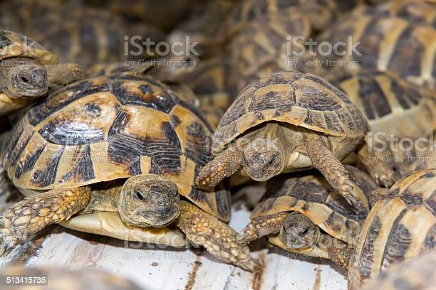Crowd of smuggled hermanns tortoises picture id513415735?b=1&k=6&m=513415735&s=612x612&h=3vpgy odxo1utc5ui 9sj7rcim0nltk7sjowvs8g5vc=