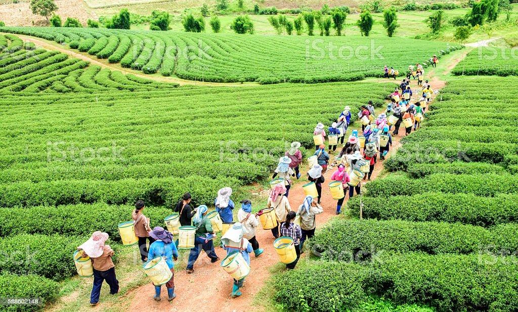 Crowd of tea picker picking tea leaf on plantation stock photo