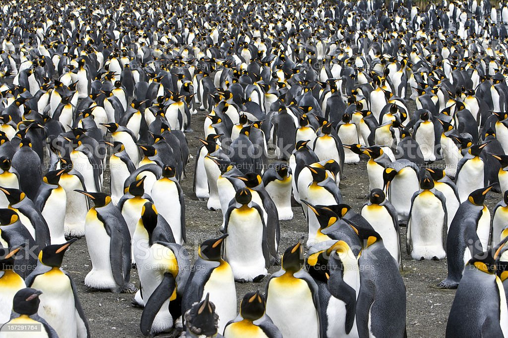crowd penguin colony royalty-free stock photo