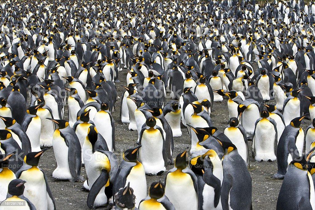 crowd penguin colony stock photo