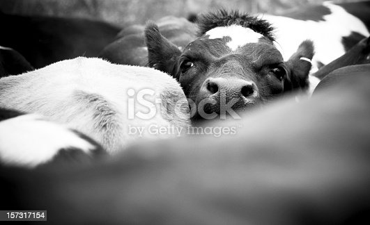 A young cow looks above a crowded herd of cattle.
