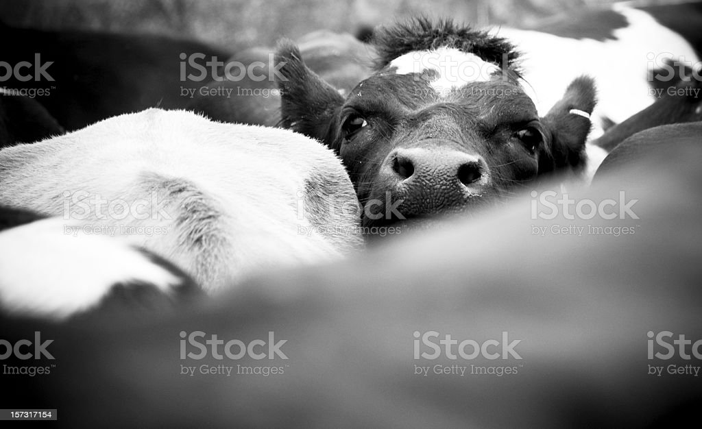 Crowded Cow in a Herd stock photo