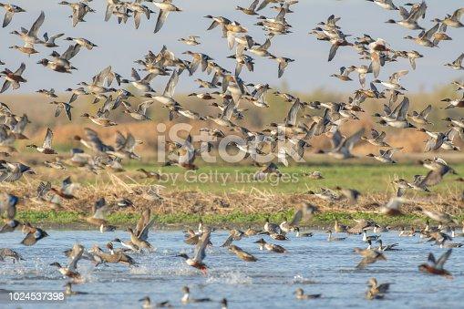 View of huge flock of wild ducks in flight above lake water