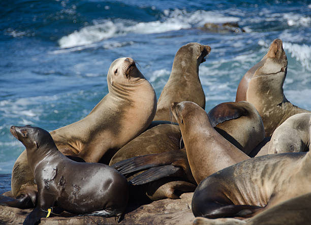 Crowded gathering of California sea lions stock photo