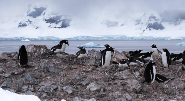 Überfüllte Gentoo Pinguin-Zuchtkolonien (Rookeries) auf felsigen Ausläufern umgeben von atemberaubenden eisigen Landschaften, Graham Land, Antarktische Halbinsel – Foto