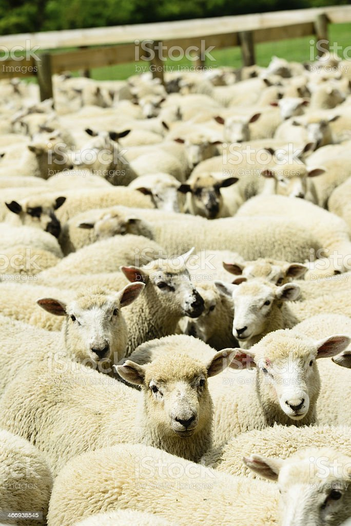 Crowded Sheep Pen stock photo