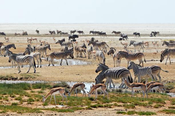 überfüllten wasserloch im etosha nationalpark in namibia - afrikanische steppe dürre stock-fotos und bilder