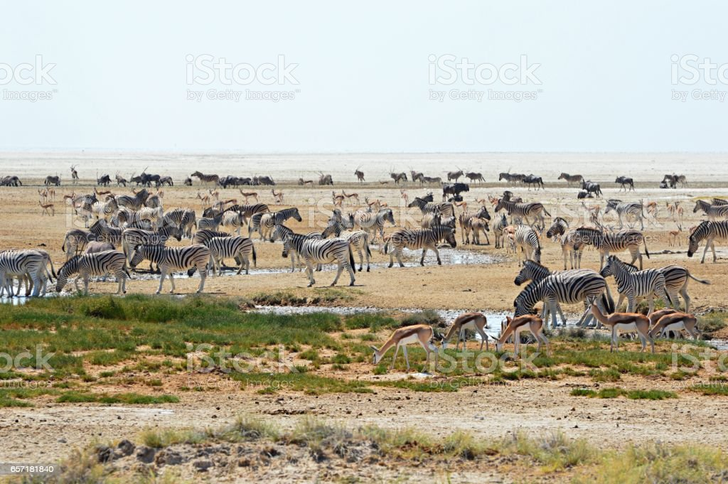 Crowded waterhole in the Etosha National Park stock photo