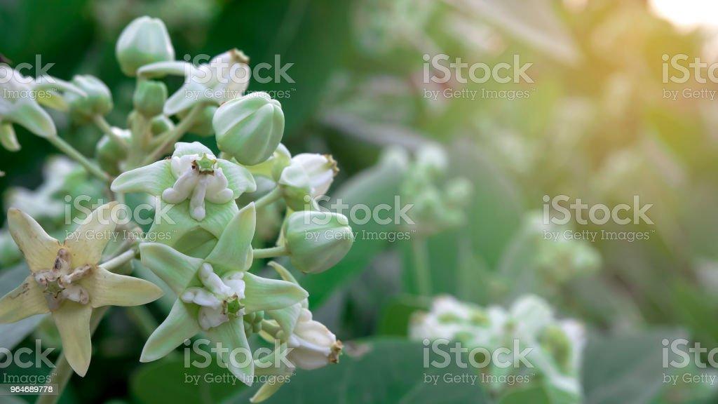 Crown flower calotropis giantea tree royalty-free stock photo