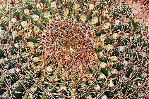Close up view of the crown of a fishhook barrel cactus in Saguaro National Park near Tucson, Arizona, USA.