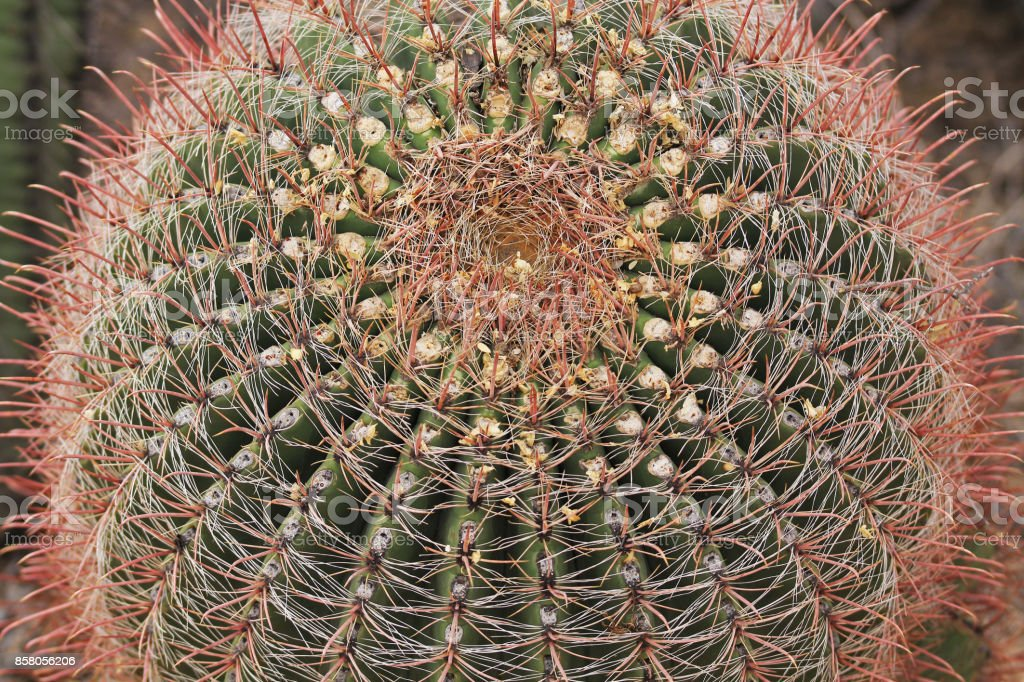 Corona de un Cactus de barril de anzuelo en Arizona - foto de stock