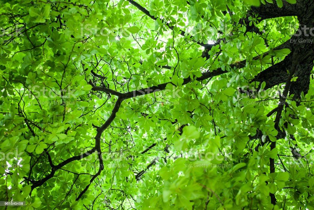 Corona de una castaña verde - foto de stock