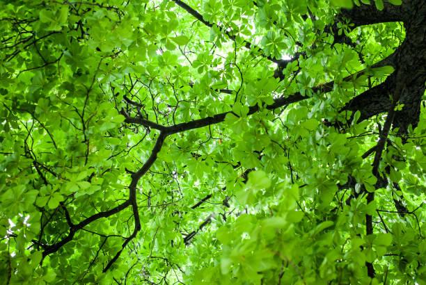 couronne d'un châtaignier vert - arbre à feuilles caduques photos et images de collection